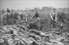 Clearing land in the 1800's - again, typical men's work clothing is shown in this photo