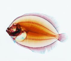 Flounder x-ray & other beautiful things Ocean Photography, Artistic Photography, Draw On Photos, Cool Photos, Amazing Photos, One Fish Two Fish, Fish Fish, Ocean Pictures, Ocean Pics