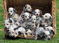 I want a Dalmatian.