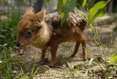 one month old baby Pudu deer