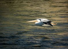 The American White Pelican is a large amazing bird i love to watch and photograph. I am amazed how low they can float so close to the water, it is a sight to see and this is what i am trying to present in this image.