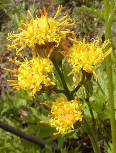 Cacaliopsis nardosmia, Silvercrown