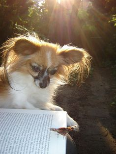 Papillon/butterfly dog and a butterfly by bernard.S, via Flickr