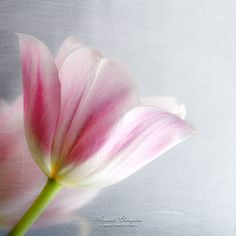 Pink tulip, grungy style and scratched texture