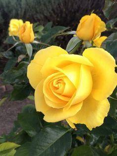 91 Melhores Imagens De Rosas Amarelas Yellow Roses Beautiful