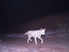 "Rare white jackal photographed in Iran. Click on the photo to go to my Animal Planet blog ""Animal Oddities"" for the full story."