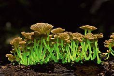 緑色に光るキノコ 満月の明かりの下で緑色の光を放つのは、クヌギタケ属のキノコ(学名 Mycenalucentipes)。ブラジルとプエルトリコの熱帯雨林に育つが、食べられるかどうかは不明。 写真=TAYLOR F. LOCKWOOD