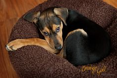 Leroy - Rat Terrier - photo by Orange Girl