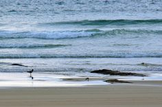 Oystercatcher on the beach in Saligo Bay, Isle of Islay