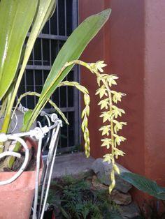 Dendrochillum 1st flowers!