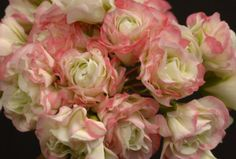 "Apple Blossom Rosebud Geranium - has pink and white petals that resemble clusters of rosebuds, full sun, 12"" high, blooms all summer, do well in containers"
