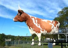 The big cow Queensland. Big Things of Australia:The Top 5 Record Breaking Creatures Queensland Australia, Western Australia, Roadside Attractions, Great Barrier Reef, Sunshine Coast, Weird And Wonderful, Cattle, Beautiful Beaches, Farm Animals