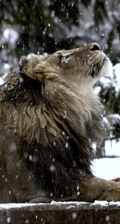 Majestic Animal under Snow Leo Zodiac Sign