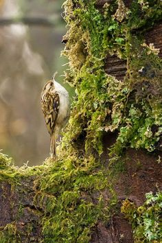Country green and brown - woodland bird Beautiful Birds, Beautiful World, Enchanted Wood, Forest Creatures, Woodland Creatures, Woodland Forest, Walk In The Woods, Fauna, Creepers