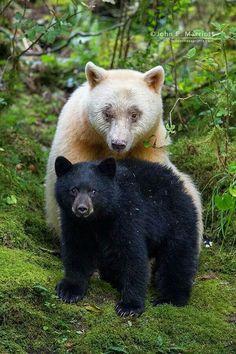 Spirit Bear & Cub photo by John Marriott