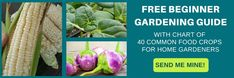 Tomato Gardening For Beginners Free Beginner Gardening Guide - Have you ever tried growing broccoli only to be disappointed by small heads, black rotted spots, or worms? Isn't it so disappointing? I have figured out the Growing Broccoli, Growing Vegetables, Gardening Vegetables, Growing Microgreens, Tomato Garden, Vegetable Garden, Tomato Plants, Gardening For Beginners, Gardening Tips