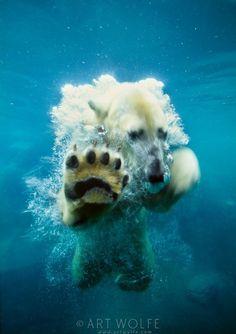 Swimming Polar bear - Photographer Art Wolfe