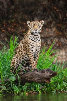 Chris Gamel Photography specializes in wildlife photography and filmmaking, photographic education, video education, and wildlife photography tours and workshops. Jungle Animals, Animals And Pets, Baby Animals, Big Cats, Cool Cats, Cats And Kittens, Beautiful Cats, Animals Beautiful, Wild Animal Wallpaper