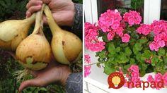 Držte se jich a nebudete litovat!  Neocenitelné triky našich babiček pro nejkrásnější květiny a bohatou úrodu! Garden Inspiration, Onion, Remedies, Banana, Fruit, Vegetables, Ale, Gardening, Facebook