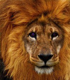 funnywildlife:    African Lion!!by Jordan Crowe