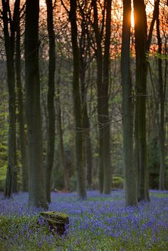 Bluebell woods - No 2