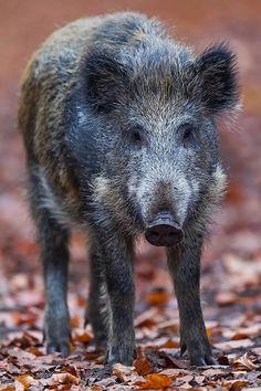 Wildschweinfrischling im Buchenwald auf Nahrungssuche - (Schwarzkittel - Wildsau), Sus scrofa, Wild Boar piglet foraging in a beech forest - (European Boar - Wild Pig)