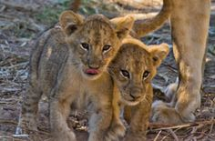 The Chichele pride have a few new additions! 3 sweet little lion cubs!
