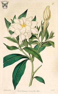 Cape Jasmine, Gardenia (Gardenia jasminoides)