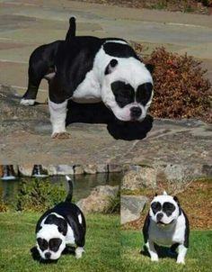 Bully Pitbull, Pitbull Terrier, Cute Puppies, Dogs And Puppies, Cute Dogs, Big Dogs, I Love Dogs, Beautiful Dogs, Animals Beautiful