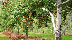 Complete Guide on How to start a Home Fruit Farming by Cultivating Apples, Pears, Cherries, Plums and Peaches - Urban Farming Zone Permaculture, Plums And Peaches, Apple Garden, Natural Ecosystem, Forest Garden, Low Maintenance Plants, Apple Orchard, Peach Orchard, Good Dates