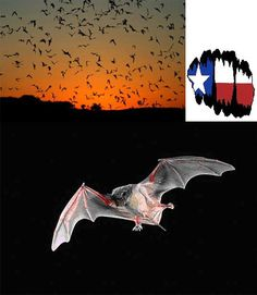 The Mammals of Texas - Bat Viewing Areas