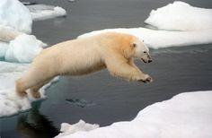 Besserer Schutz geplant: Der Lebensraum des Eisbärs ist bedroht....