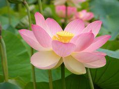 flor nacional de India y Vietnam | Plantas & Jardín