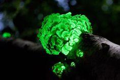 Bioluminescent mushroom Panellus stipticus grows on branch