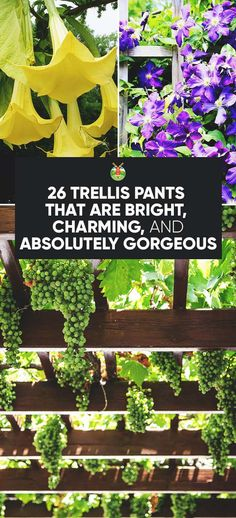 A trellis makes any garden beautiful with a shady walkway, or as a wall of color or to run vegetables up on. Here's 26 great suggestions for trellis plants.