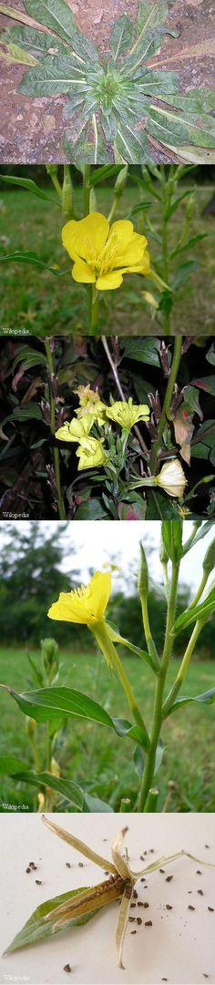 Middelste teunisbloem - Oenothera biennis prebiotisch, verbetering spijsvertering en darmflora