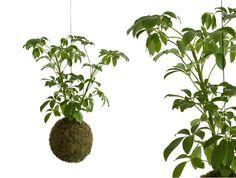 UMBRELLA TREE PLANT opus studio