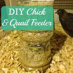 A super easy DIY chick or quail feeder. Also perfect for isolated chickens! Using just a few items and a juice bottle, you can have a homemade feeder in minutes. We love using these for our coturnix quail!