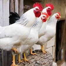 Afbeeldingsresultaat voor kippen