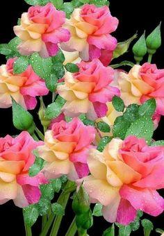 Beautiful Rose Types