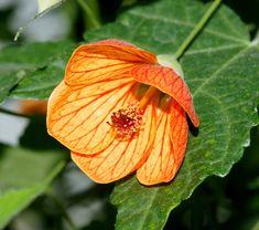 Abutilon, (Flowering Maple or Chinese Lantern) are great flowering houseplants. http://www.houseplant411.com/askjudy/can-you-identify-my-houseplant