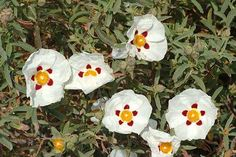"""Cistus Ladaniferus, Cistus ladanifer, Brown-Eyed Rockrose The gum rock rose is an evergreen shrub that flowers with white, red spotted flowers during the summer. It grows to a max 1 meter, and is a good plant for poor soil which is drought tolerant once established. Low maintenance.  6"""" pot size. Hello Hello Plants, Rock Rose, Evergreen Shrubs, Garden Plants, Flowering Plants, Cool Plants, Drought Tolerant, Garden Supplies, Planting Flowers"""