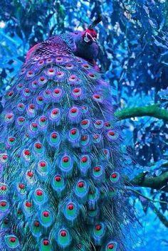 "Amazing wildlife - Blue Peacock photo <a class=""pintag"" href=""/explore/peacock/"" title=""#peacock explore Pinterest"">#peacock</a>"
