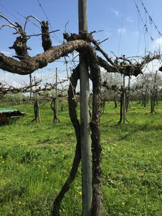 50 years old Lambrusco vines at the 110 years old LINI family vineyard in Corregio Italy