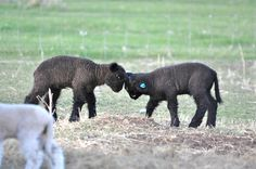 Romney Sheep, Baby Lamb, Lord Is My Shepherd, Lambs, Goats, Stones, Birds, Cute, Animals