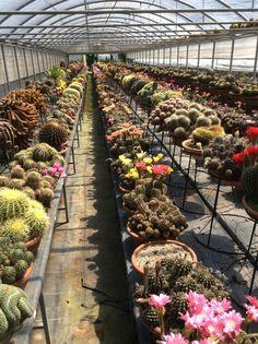 Cactus Colombo