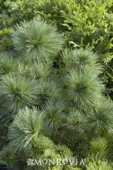 Blue Shag Eastern White Pine - Monrovia - zone 3-8. This easy-care Conifer has a dwarf, dense habit with short, blue green needles that are soft to the touch. Adaptable to a wide range of soil conditions and effective in rock gardens, shrub borders or as a specimen. Evergreen.
