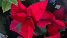 "These 4 "" promotional Poinsettia are some of the best and biggest I've ever seen."