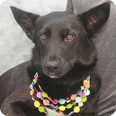 Garfield Heights, OH - Welsh Corgi/German Shepherd Dog Mix. Meet Dazzle, a dog for adoption. http://www.adoptapet.com/pet/18107743-garfield-heights-ohio-welsh-corgi-mix