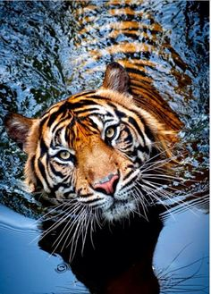 ...princess, excuse me, pardon me but I have a nose for the blood of royalist......Beautiful tiger